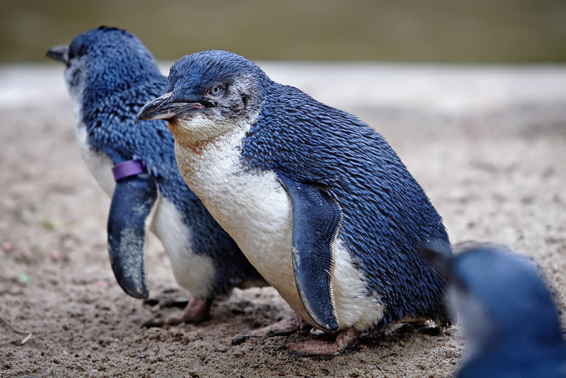 PinguinoMinoreBlu