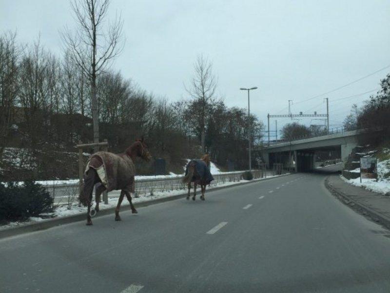 Cavalli al galoppo su di una strada a Vernier