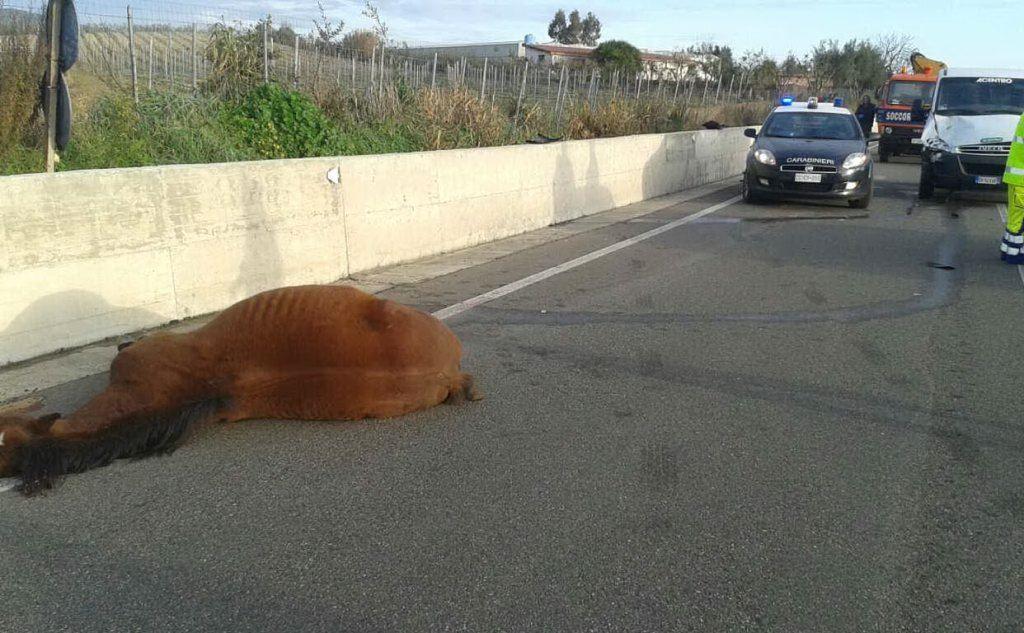 Cavallo travolto da un furgone nel Cagliaritano muore poco dopo l'incidente