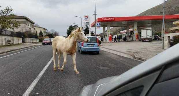 Un cavallo bianco compare sulla via Appia nel beneventano ed è corsa al lotto