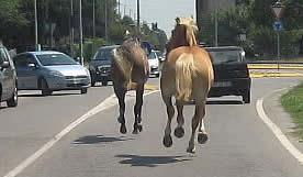 Cavalli incustoditi su strada nella provincia di Enna: denunciato il detentore
