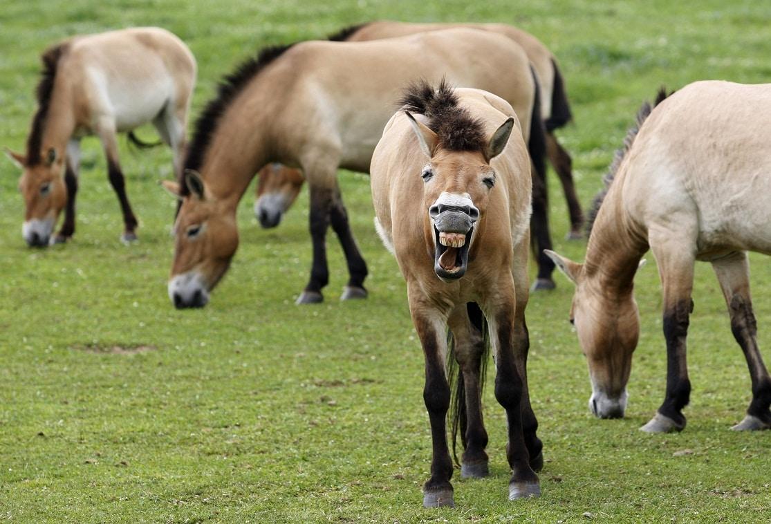 Il nitrito dei cavalli è lo specchio delle loro emozioni