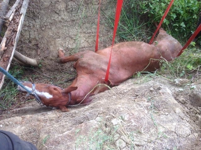 Veleno, cavallo anziano, ha rischiato la vita per una caduta: è salvo!
