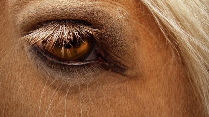 cavallo occhi