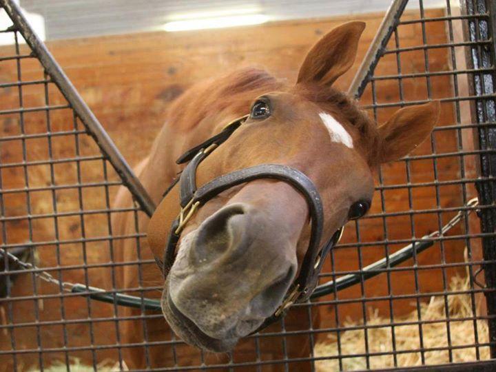 I cavalli sono furbi e posseggono capacità cognitive sofisticate