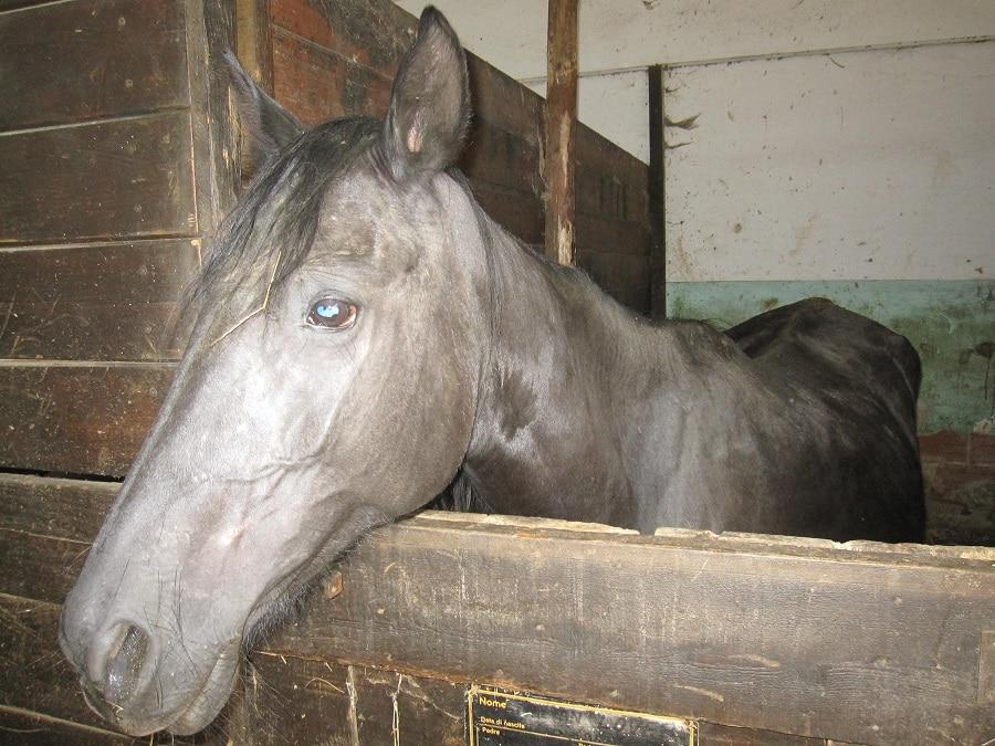 Cavalli malnutriti e maltrattati: scatta la denuncia