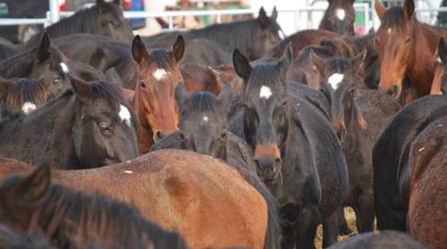 Cavalli abbandonati dopo la morte della padrona, interviene la forestale su segnalazione dell'IHP