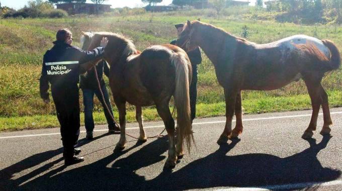 Cavalli in fuga bloccati dalla polizia municipale