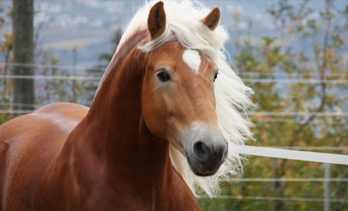 Mostra interprovinciale del cavallo Haflinger dal 23 al 25 ottobre